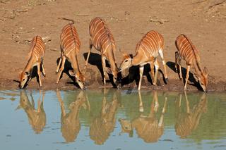 Nyala antelopes drinking