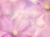 Pink Clematis flowers background,soft focus