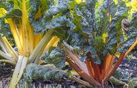 Mangold (Beta vulgaris subsp. vulgaris)