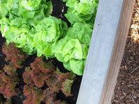 Grüner Kopfsalat und roter Lollo rossa im Hochbeet aus Holz