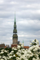 Riga, Latvia. View of St. Peter's Church and flowering bush foreground