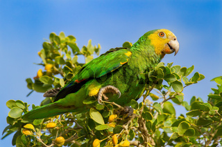 Green yellow amazon parrot in tree