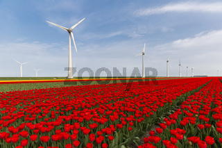 Red tulip field and wind turbines in the Noordoostpolder municipality, Flevoland