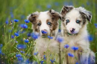 Border collie puppy in a cornflower field
