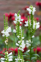 White Physostegia flowers with Red Monada flowers at the background