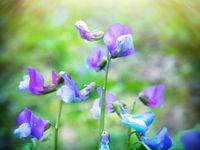 Flowers Lathyrus vernus