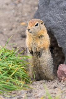 Curious arctic ground squirrel, carefully looking so as not to fall into jaws of predatory beasts. Wild animal of genus rodents of squirrel family