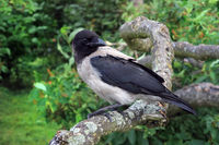 Young Hooded Crow Perched on a Tree