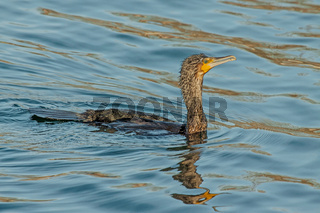 Kormoran 'Phalacrocorax carbo'