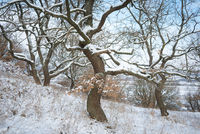 Oak trees in winter covered with snow in Burgenland