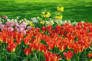 Flowerbed of tulips in the garden