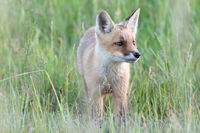 red fox (Vulpes vulpes), fox cub standing in a meadow, Germany