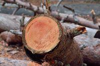 Pine trunk saw cut close-up. Natural background