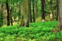 Laubwald im Fruehling