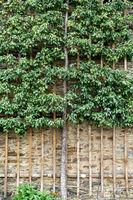 Spalierobstbaum