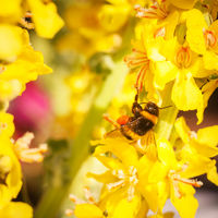 Bumblebee on a mullein blossom collecting
