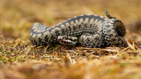 Poisonous common viper lying on the ground in autumn.