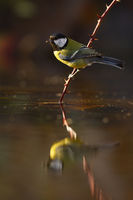 Sunlit great tit sitting on a twig with thorns just above water about to drink