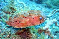 Diodon holocanthus - Langstachel-Igelfish