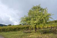 Herbst in den Weinbergen bei Birkweiler