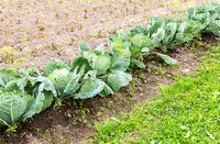 Green cabbage growing at the vegetable garden