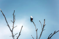 Bald eagle hunts near the water
