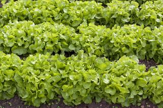 Reichenauer Salatfeld