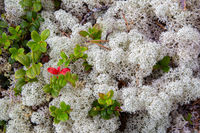 Close-up white reindeer moss in an artic forest