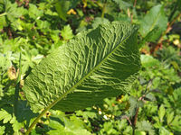 close up of a large young common dock leaf in woodland vegetation in spring sunlight