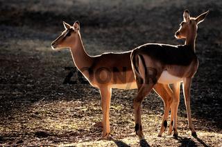 Backlit impala antelopes