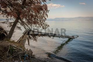 Fallen tree at Lake Ohrid, North Macedonia