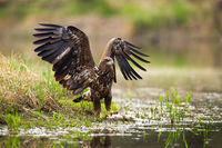 White-tailed eagle landing with spoil on the shore.