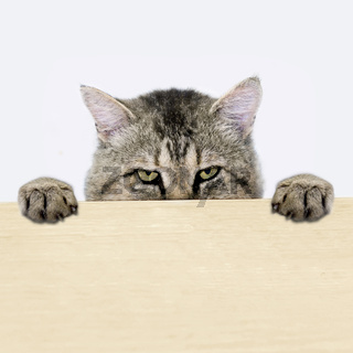 Cat peeking out from behind the table surface