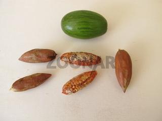 Ausgekernte, geknackte Nüsse von der der Nusseibe, Torreya nucifera