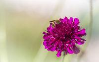 Biene auf pink Blüte