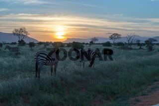 Zebras grazing in the savannah
