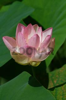 Indische Lotosblume