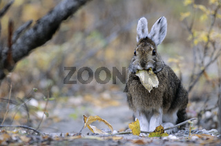 Schneeschuhhase frisst Weidenblaetter / Snowshoe Hare feeding willow leaves - (Varying Hare - Snowshoe Rabbit) / Lepus americanus