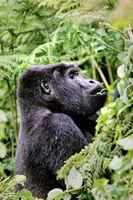 Berggorilla im Bwindi Impenetrable Nationalpark Uganda (Gorilla beringei beringei)   Mountain Gorilla at Bwindi Impenetrable National Park Uganda (Gorilla beringei beringei)
