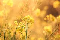 rapeseed flowers at sunrise