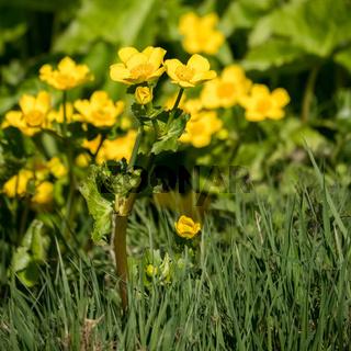 Marsh Marigold (Caltha palustris) Flowering in Springtime
