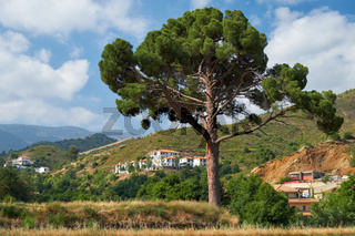 The lonely pine in the field near Galata village. Troodos area. Cyprus