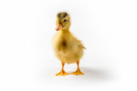 yellow duckling isolated