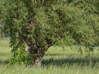 Korbweide (Salix viminalis),Rheinland,Deutschland