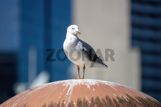 typical seagull on a roof