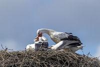 Weissstorch fuettert die Jungvoegel auf dem Nest / Ciconia ciconia