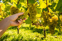 Hand picking white grapes from grapevines inautumnss sunny day.
