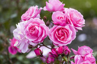Floribunda Rose Memory Lane - Poulsen -1998 - Botanischer Garten in Wellington in Neuseeland