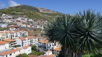 Drachenbaum vor Stadtkulisse, Madeira