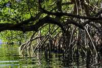 Dense mangrove vegetation over water